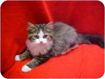 Maine Coon Kitten for adoption in Germantown, Maryland - DEWDROP + DUCHESS