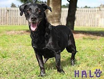 Basset Hound/Labrador Retriever Mix Dog for adoption in Sebastian, Florida - Lily