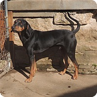 Black and Tan Coonhound Mix Dog for adoption in House Springs, Missouri - Jackson