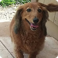 Adopt A Pet :: Miley - Henderson, NV