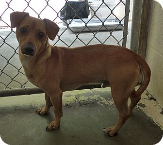 Chihuahua/Dachshund Mix Dog for adoption in Manning, South Carolina - Brody