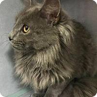 Maine Coon Cat for adoption in Manteo, North Carolina - Mr. Fox