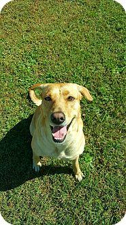 Labrador Retriever Mix Dog for adoption in Jacksonville, North Carolina - Star