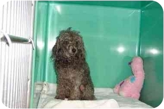 Poodle (Miniature) Dog for adoption in Secaucus, New Jersey - Annie