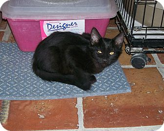 Domestic Shorthair Kitten for adoption in Scottsdale, Arizona - Bubbles