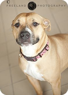 American Pit Bull Terrier Mix Dog for adoption in Jackson, Michigan - Molly