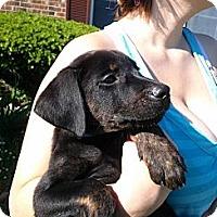 Adopt A Pet :: Helen - South Jersey, NJ