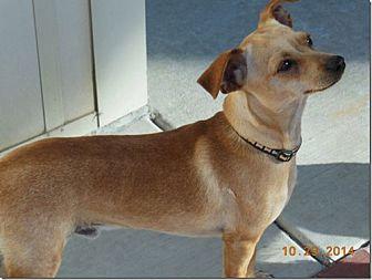 Chihuahua Mix Dog for adoption in Monrovia, California - Freddie