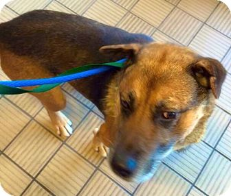 German Shepherd Dog Mix Dog for adoption in Middletown, Ohio - Scoop -PawPatrol