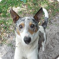 Adopt A Pet :: Dash - Ormond Beach, FL
