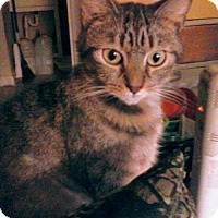 Domestic Shorthair Cat for adoption in Harrisonburg, Virginia - Precious