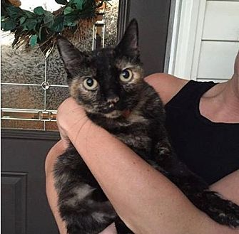 Domestic Shorthair Cat for adoption in Greensboro, North Carolina - Tortie Kitty *Courtesy Listing*