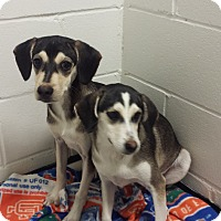 Adopt A Pet :: Brice - Barnwell, SC