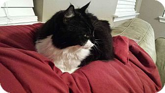 Domestic Mediumhair Cat for adoption in College Park, South Carolina - Snickers