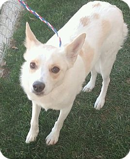 American Eskimo Dog/Australian Cattle Dog Mix Dog for adoption in Fruit Heights, Utah - Leigha