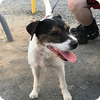 Jack Russell Terrier Mix Dog for adoption in Blue Bell, Pennsylvania - Jax