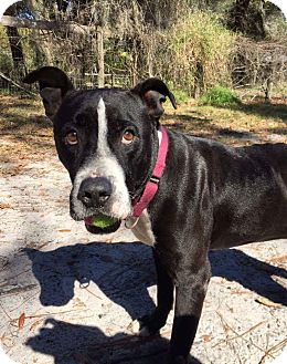 American Staffordshire Terrier Mix Dog for adoption in Umatilla, Florida - Major