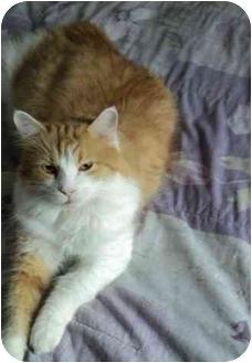 Domestic Mediumhair Cat for adoption in Montreal, Quebec - Dallas