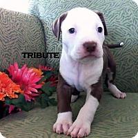 Adopt A Pet :: TRIBUTE - Higley, AZ