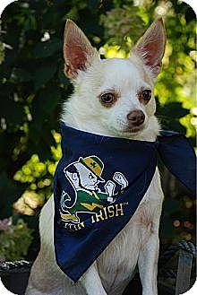 Chihuahua Mix Dog for adoption in mishawaka, Indiana - Hopper