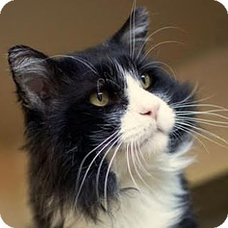 Domestic Longhair Cat for adoption in Denver, Colorado - O'Malley