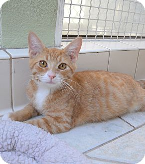Domestic Shorthair Kitten for adoption in Van Nuys, California - Gator