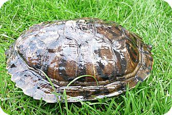 Turtle - Water for adoption in Richmond, British Columbia - Missy