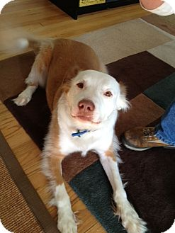 Pit Bull Terrier/Setter (Unknown Type) Mix Dog for adoption in Richmond, Virginia - Dan
