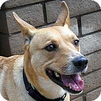 Carolina Dog/Cattle Dog Mix Dog for adoption in Phoenix, Arizona - Luna