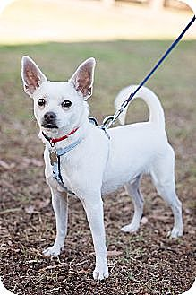 Italian Greyhound/Chihuahua Mix Dog for adoption in Sherman Oaks, California - Angel