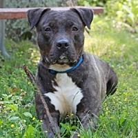 Pit Bull Terrier Mix Dog for adoption in Port Washington, New York - Angel