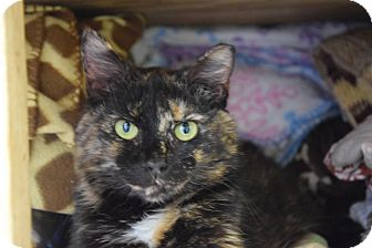 Domestic Shorthair Cat for adoption in Pottsville, Pennsylvania - Honey