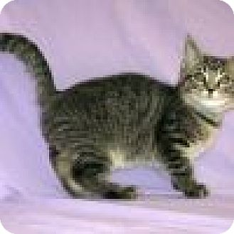 Domestic Shorthair Cat for adoption in Powell, Ohio - Abner