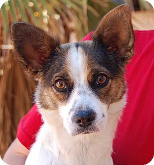 Chihuahua/Fox Terrier (Toy) Mix Dog for adoption in Las Vegas, Nevada - Teresa