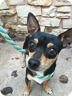 Chihuahua/Terrier (Unknown Type, Small) Mix Dog for adoption in Astoria, New York - Andy: Adoption Pending