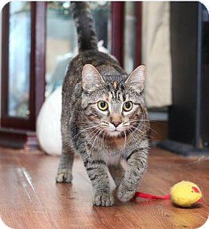 Domestic Shorthair Cat for adoption in Des Moines, Iowa - Elsie