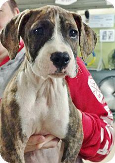 Boxer Mix Puppy for adoption in Toledo, Ohio - Mozarella