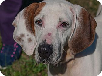 English Pointer/English (Redtick) Coonhound Mix Dog for adoption in Buffalo, New York - Karen