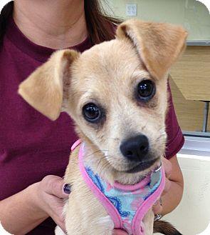Chihuahua/Italian Greyhound Mix Puppy for adoption in Studio City, California - Daphne