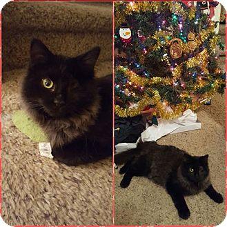 Domestic Longhair Cat for adoption in Toledo, Ohio - Feliz Navidad