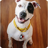 American Pit Bull Terrier Mix Dog for adoption in Edina, Minnesota - Trouble D160897