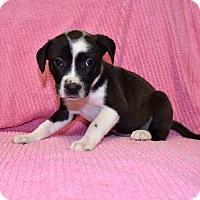 Adopt A Pet :: Cyndi Lauper - New Milford, CT