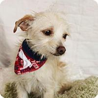 Adopt A Pet :: Billy - Carrollton, TX