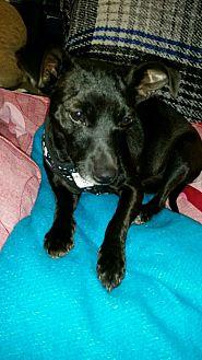Chihuahua Mix Puppy for adoption in Cerritos, California - LB
