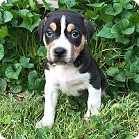 Adopt A Pet :: Boss - Greensboro, GA