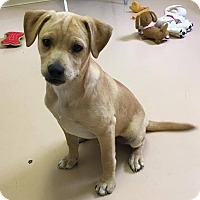 Adopt A Pet :: Joe - Washington, DC