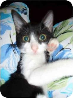 Domestic Shorthair Kitten for adoption in Boca Raton, Florida - Sabrina