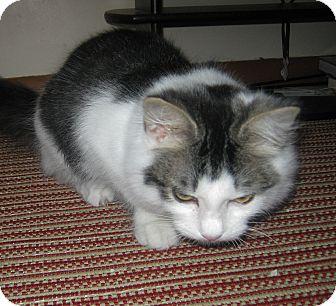 Domestic Mediumhair Kitten for adoption in N. Billerica, Massachusetts - Leif