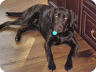 Labrador Retriever Dog for adoption in Groton, Massachusetts - Rasta