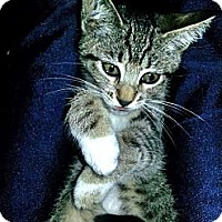 Adopt A Pet :: Tabby - San Diego, CA